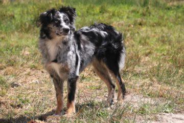 Australian shepherds ezra dog