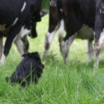 Scox sur vache